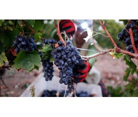 THE TURKISH WINE RENAISSANCE